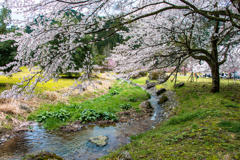 しだれ桜のたけくらべ広場その6