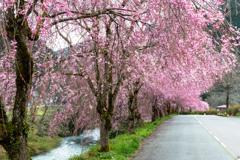 しだれ桜のたけくらべ広場その7
