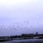 SONY HDR-PJ540で撮影した(鵜鷺追いし多摩川 #1 飛来)の写真(画像)