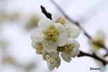 岡山県の梅さん