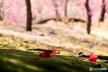 苔の上に飾られた椿さん