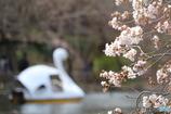 桜の花とスワンボート