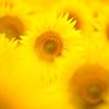 黄色にとろけて。。。