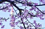 河津桜咲いてた…*