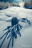 雪原の珊瑚