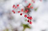 冬の赤_12