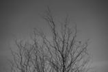 じんじろの木
