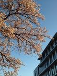 百年桜と新庁舎