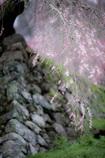 瀧桜の指先1