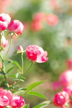 秋の薔薇Ⅱ ~中之島公園バラ園より~