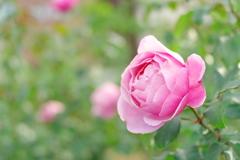 秋の薔薇Ⅴ ~中之島公園バラ園より~