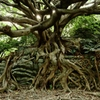 アコウの木 ~室戸ジオパーク~