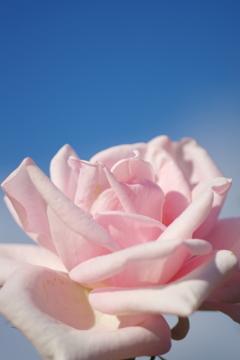 爽やかなバラの香りを ~秋の薔薇Ⅲ、中之島公園バラ園より~