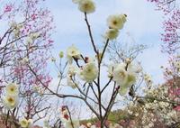 RICOH IMAGING PENTAX K-S1で撮影した(梅でフラワーリース作りました。)の写真(画像)