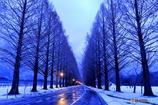 夜明けのメタセコイア並木