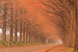 晩秋のメタセコイア並木