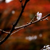 秋に咲く春