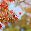 楓と柿~秋の風物詩~