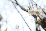 寒の中の梅の中