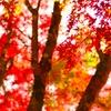 陽に照らされる紅葉