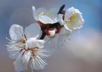 OLYMPUS E-5で撮影した(Plum Blossoms♡)の写真(画像)