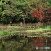 普段カワセミ撮影してる公園の池の紅葉