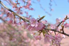 河津桜_代々木公園_09