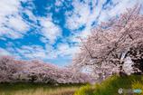 桜とちょっとの菜の花