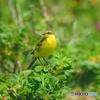 夏鳥-ツメナガセキレイ