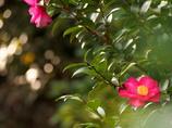 山茶花の咲く頃