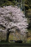 なんか気になった桜の木