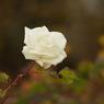 薔薇 2 1月末