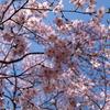高遠城山公園の彼岸桜
