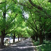 神宮外苑 銀杏並木