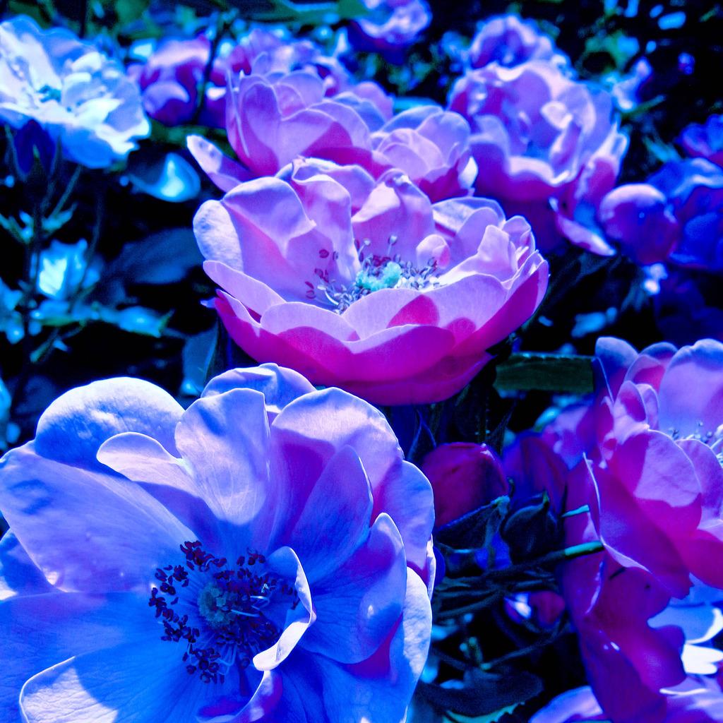 Rose of Daydream