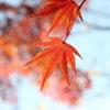 透ける紅葉