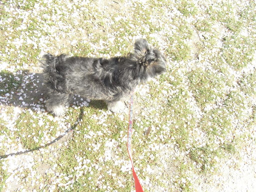 桜の絨毯と犬