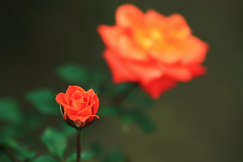 rose ROSE ♪