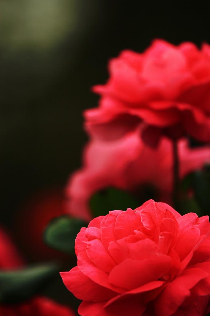 ハートは赤い薔薇♪