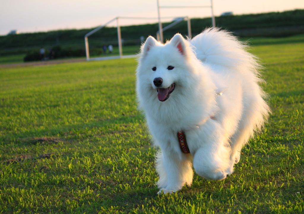 実家のサモエド犬