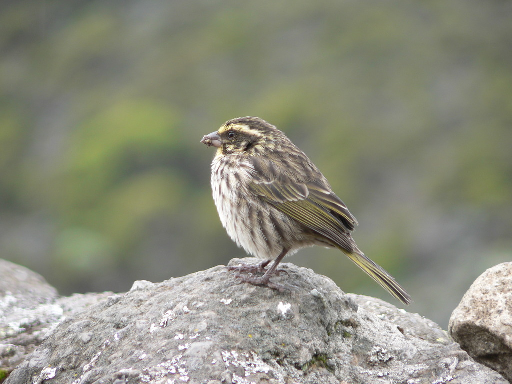 キリマンジャロの小鳥