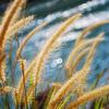 草 の 擺