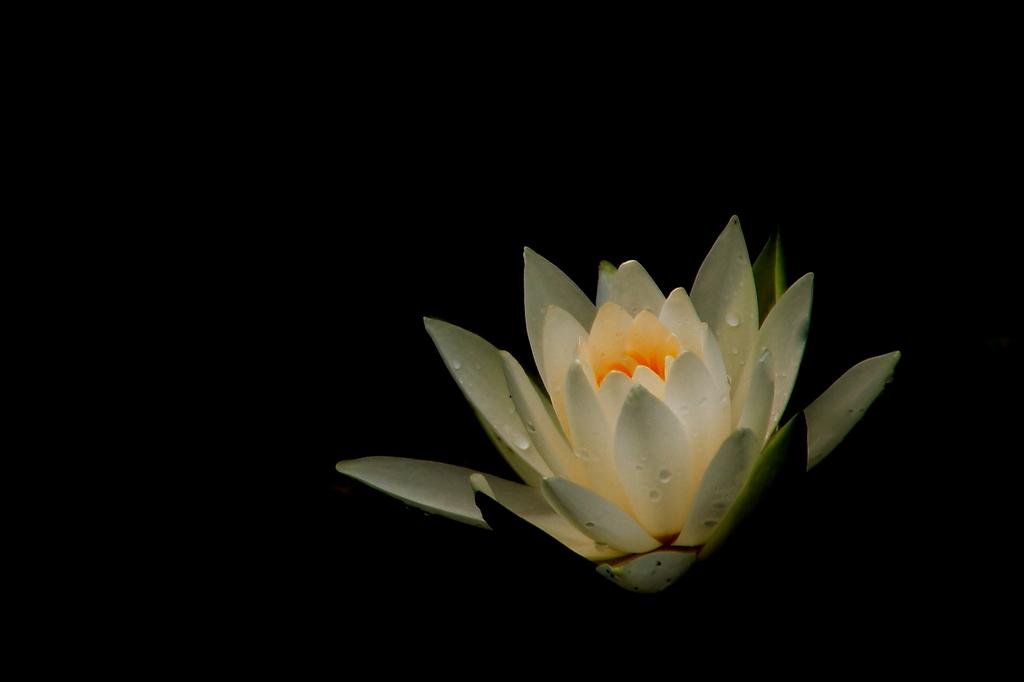 雨上がりの蓮の花