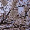 官庁街の桜