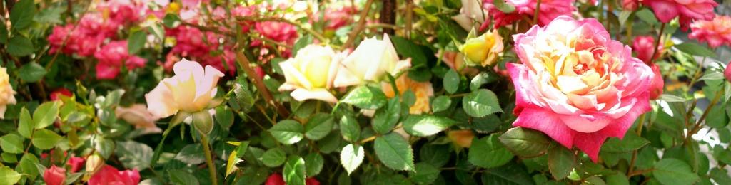 バラのパノラマ