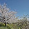 帰り道 桜