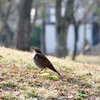 Sunbathing thrush