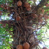 Cannon Ball Tree