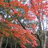 山黄櫨紅葉