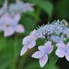 山紫陽花と蜂